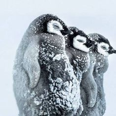 Pinguins <3 <3