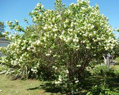 EVBJUAN --Viburnum opulus  -copo de nieve -- PARAJE EL CHAJA BRANDSEN Viburnum Opulus, Plants, Snowflakes, Planters, Plant