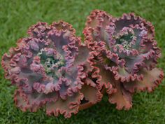 Echeveria 'Mauna Loa' is a spectacular, cabbage like Echeveria with large flat leaves that crinkle and frill at the edges, forming rosettes up to...