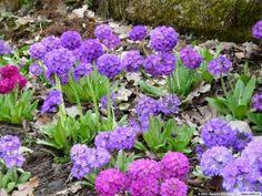 """pierwiosnek ząbkowany """"Blaue Auslese"""" (łac. Primula denticulata)  bylina niska, skalna, roślina , na rabaty, na klasyczne skalniaki, kwiat niebieski (III-IV), wys. 30, wilgotność zwiększona, stanowisko lekko zacienione, gleba próchnicza, przeciętna, obojętna, mrozoodporność częściowa"""