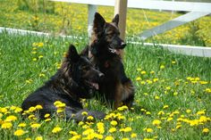 Meet Shadow and Joelle, two long haired, black sable German Shepherds with 100% DDR bloodlines.  Easy to train, sweet dogs and protectors at the same time. Sleep in the house on your feet, run outside and stay close to you. What more can you ask from a dog....