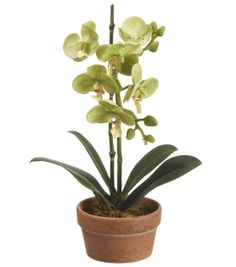 Floral Inspirations 11 inch Green Potted Phalaenopsis at Joann.com