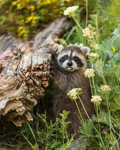 alittlebitofsillinessreally: Baby Racoon (by Mike Robinson — FINEARTAMERICA)