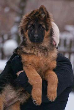 What a beauty! #german sheperd