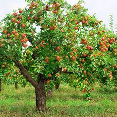 Fuji Apple, Malus pumila Fuji, Tree Seeds (Fast, Edible, Hardy)