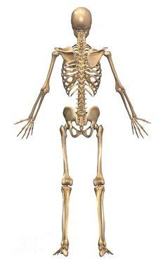 ストックイラストレーション : front view of human skeleton, Skeleton