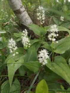 Oravanmarjan kukat - flowers of the false lily of the valley/ kasvi ja marjat myrkyllisiä