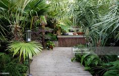 View top-quality stock photos of Timber Decking Pathway Through Tropical Style Garden With Fan Palm Ginger Lily Hedychi. Style Tropical, Tropical Paradise, Small Tropical Gardens, Tropical Plants, Acer Trees, Palm Trees Garden, Bamboo Seeds, Balinese Garden, Landscaping