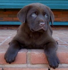 or chocolate labs!