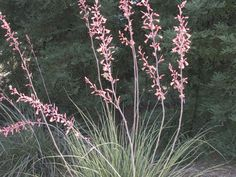 "This drought-tolerant favorite is a showstopper, shooting up six-foot red flower spikes over succulent blue-gray foliage. ""This plant does fabulously well in high heat and is unbelievably hardy,"" Staddon says. ""It establishes itself quickly and can double its size in a year."" The new cultivar Brakelights® features blood-red blooms rather than the traditional coral red and attracts droves of hummingbirds and butterflies."