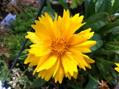 Coreopsis Forms Of Communication, Language Of Flowers, East Coast, Outdoor Living, Garden, Plants, Wedding, Perfect Love, Flowers