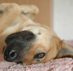 Akkie Akita Inu- Husky -Schäferhund Mischling