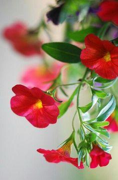 Flower Farm, My Flower, Million Bells, Red Cottage, Colorful Garden, Petunias, Little Miss, Love Flowers, Garden Plants