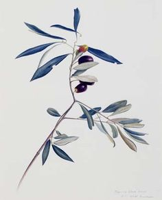 Olive branches again.maybe this on my collar bone Botanical Drawings, Botanical Prints, Olive Branch Tattoo, Laura Lee, Art Images, Art Drawings, Illustration Art, Watercolor, Watercolor Art