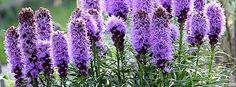 Liatris spicata 'Alba' Liatris Flowers' Common Names, Blossoms, Gardens, Star, Awesome, Flowers, Plants, Image, Florals
