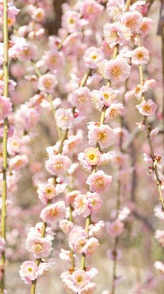 Pink weeping ume blossom