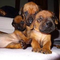 Puppies Rhodesian Ridgeback Puppies, Lion Dog, Beautiful Dogs, Terriers, Dog Pictures, Make Me Smile, Doggies, Africa, Happiness