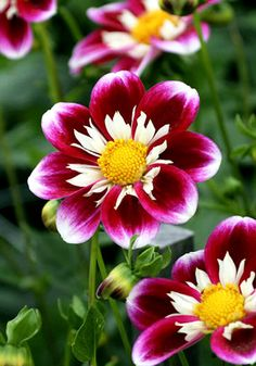 Exotic Flowers, Cut Flowers, Spring Flowers, Beautiful Flowers, Front Flower Beds, Colorful Garden, Trees And Shrubs, Flower Pictures, Flower Wallpaper