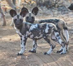 wild dog puppies, Botswana, Africa