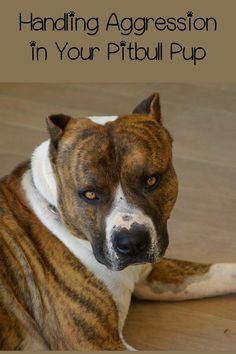 Today in Pitbull Puppy Training Tips, we'll cover training the aggressive pitbull puppy. Pitbull puppy training tips for aggressive pups are important ones.