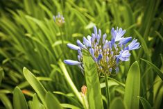 Agapanthus plants are hardy and easy to get along with, so you are understandably frustrated when your agapanthus does not bloom. If you have non-blooming agapanthus plants and want to know why, this article will help.
