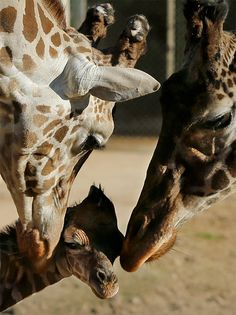 An 11-year-old female giraffe named Jacky, right, and a 6-year-old male giraffe named Buddy, left, interact with their newborn at the Buenos Aires' zoo in Argentina, Tuesday, July 16, 2013. The baby giraffe was born at the zoo on Friday, July 12. (AP Photo/Victor R. Caivano)