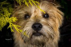 Cairn Terrier Dog Jasmin Kiba Nitexki Photography Cairn Terriers, Terrier Dogs, Cairns, Photography, Animals, Photograph, Animales, Animaux, Fotografie