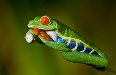 la imagenes de ranas - Buscar con Google