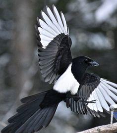 Black-billed magpie by ebeckes Eurasian Magpie, Pie Bavarde, Magpie Tattoo, Jackdaw, Crows Ravens, Paper Birds, All Birds, Bird Pictures, Wild Nature