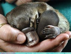 Platypus - Oz has the most gorgeous and unusual animals