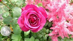 Rose and Astilbe