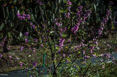 Melocotoneros en flor en enero.