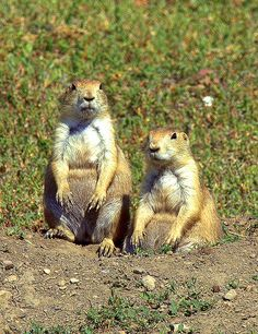 Black-tailed Prairie Dogs Teddy Roosevelt National Park, North Dakota