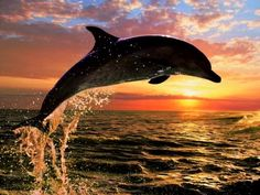 dolphin jumping during a beautiful sunset.