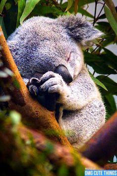 Sleepy baby koala bear