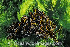 http://www.oceanwideimages.com/images/2511/large/24M1622-09-many-petalled-nudibranch.jpg