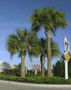 Sabal palmetto.001 by thesix, via Flickr