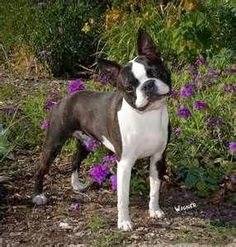 Brindle Boston Terrier - Yahoo Image Search Results