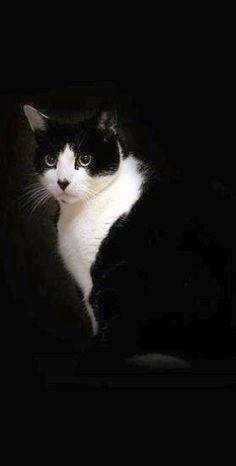Very striking black and white cat photo. Pretty Cats, Beautiful Cats, Animals Beautiful, Cute Animals, I Love Cats, Crazy Cats, Cool Cats, Photo Chat, Tier Fotos