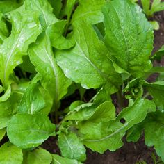 Arugula, or rocket, is a fast growing salad green that packs a wallop of flavor. Here are some tips for getting your arugula plants growing and harvesting them throughout the spring and fall.