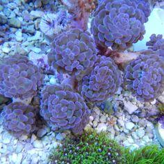 Purple Hammer Colony