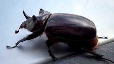 Escaravelho é filmado fazendo flexões de patas.