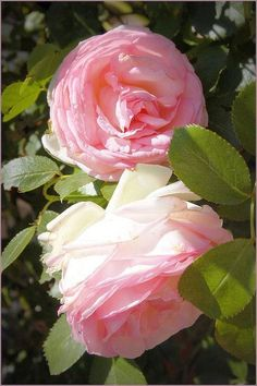 Pierre de Ronsard, every time I see this rose I gasp with delight and awe. It never ceases to thrill me. Beautiful Flowers Garden, Romantic Flowers, Beautiful Roses, Pretty Flowers, Beautiful Gardens, My Flower, Flower Power, Pink Roses, Pink Flowers