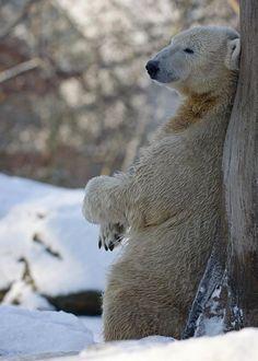 Berlin Zoo's celebrity polar bear Knut doesn't understand what all the fuss is...