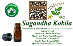 Sugandha Kokila consists primarily of methyl cinnamate and 1,8 cineole.  These components make it a beneficial germicidal with antimicrobial, antiseptic, and antibacterial properties well suited for massage oil blends targeting arthritic and rheumatic conditions. Its analgesic effects are also beneficial in sports related massage for reducing pain and inflammation in the muscles and joints while increasing circulation.
