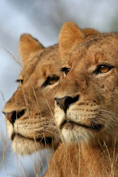 Lionesses ~ are caring mothers. Two or more lionesses in a group tend to give birth at the same time, and cubs are raised together.