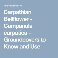 Carpathian Bellflower - Campanula carpatica - Groundcovers to Know and Use