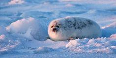 Keep Baby Seals Protected