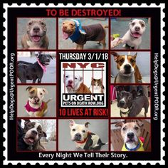 TO BE DESTROYED 03/01/18 - - Info     https://newhope.shelterbuddy.com/Animal/List   To rescue a Death Row Dog, Please read this:http://information.urgentpodr.org/adoption-info-and-list-of-rescues/ List of NH Rescues: http://www.nycacc.org/get-involved/new-hope/nhpartners To view the full album, please click ...-  Click for info & Current Status: http://nycdogs.urgentpodr.org/to-be-destroyed-4915/