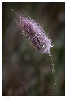 drops on a thistle